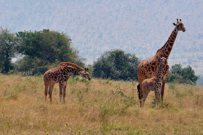 Lions and Giraffes in Akagera